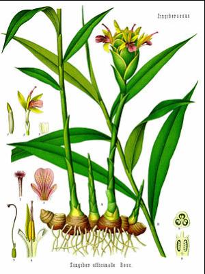 aus Koehler's Medizinalpflanzen, herausgegeben von G. Pabst, 1898