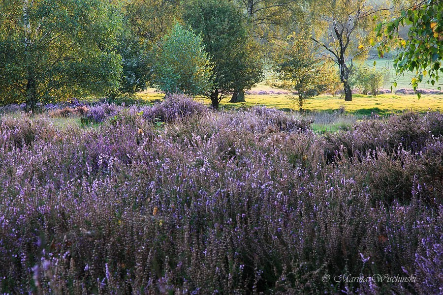 Besenheide (Calluna vulgaris) im Vordergrund oder einfach nur Heidekraut...