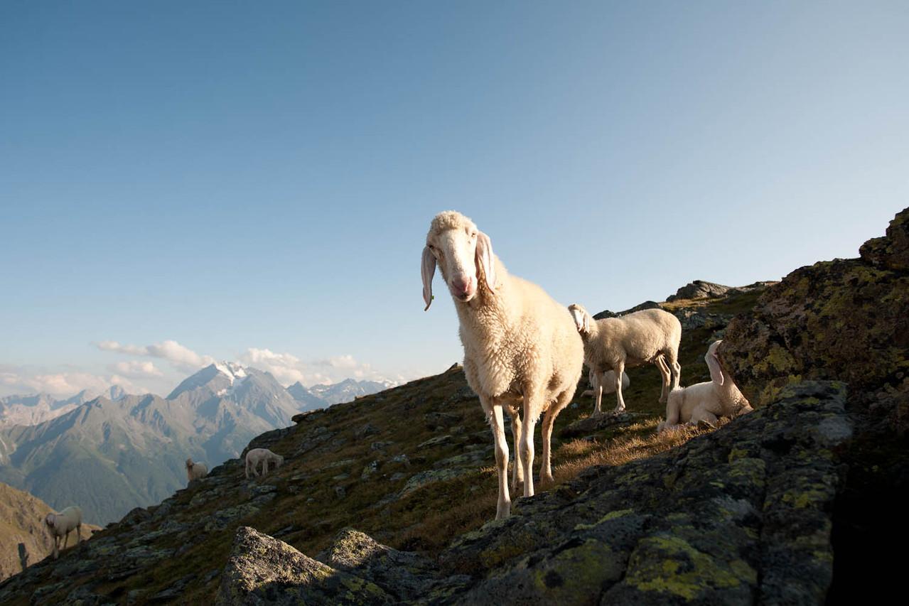 Tiroler Bergschaf - Bildarchiv TVB Stubai