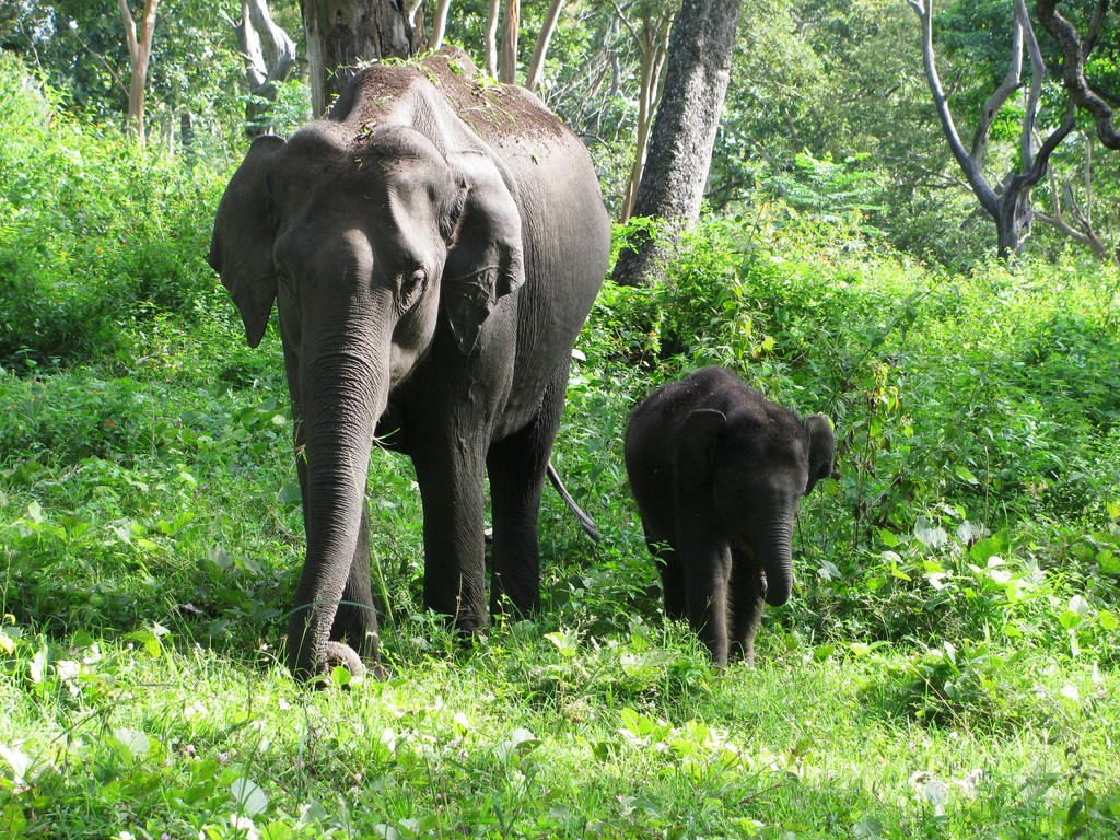 インドゾウの母親と仔
