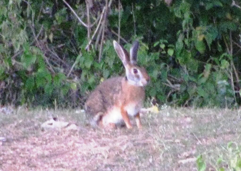 じっと座ったままのインドノウサギ