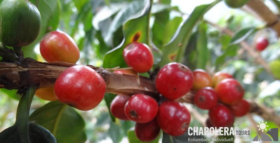 Tagestour zur Kaffeefinca, Kaffeeprozess & Canopy (Foto: Reife Kaffeekirschen)