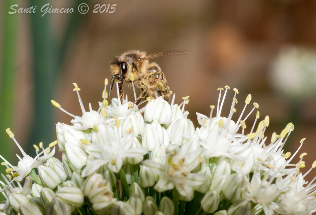 No se jo que tal la mel de flors de cebes