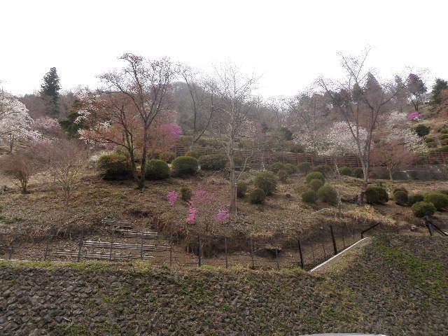 奥多摩湖の公園は桜が満開