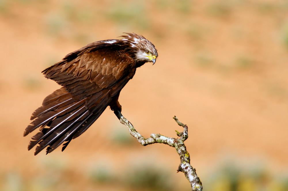 Milano negro, (Milvus migrans). © Daniel Arbués González.