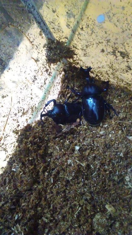 カブトムシの成虫が多数捕獲できました