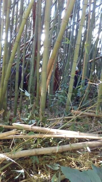 今後の作業に利用する竹を切り出した竹林です