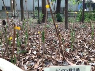 急に大きくなったキンラン、開花が早まりそうです。