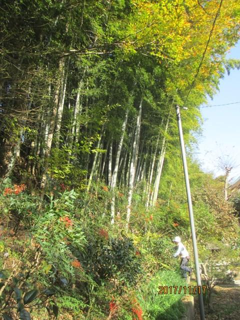 この竹林の枯れた竹を中心に切り倒しました