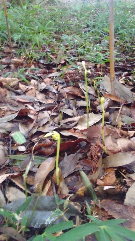 サガミランの芽が大きくなってきました