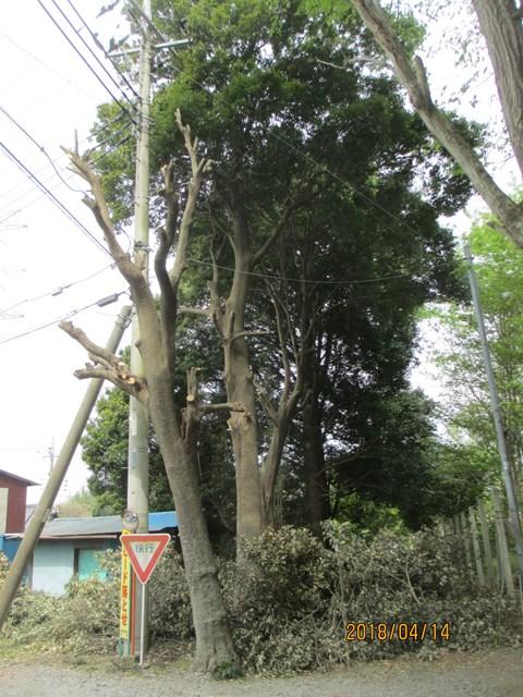 高い所から切り落とした枝の片づけを手伝いました