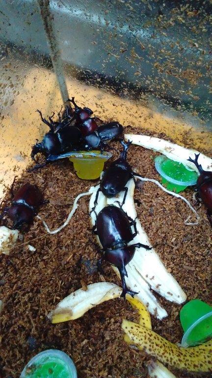 大量に捕れたカブトムシ成虫。オスが多いですね