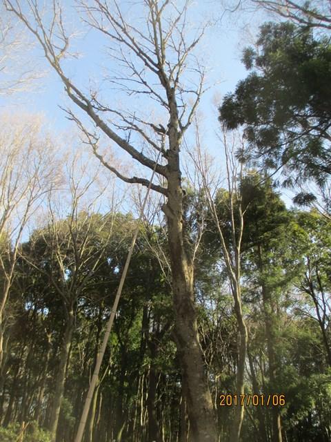 竹竿を使って、枯れた枝を落とす作業をしました