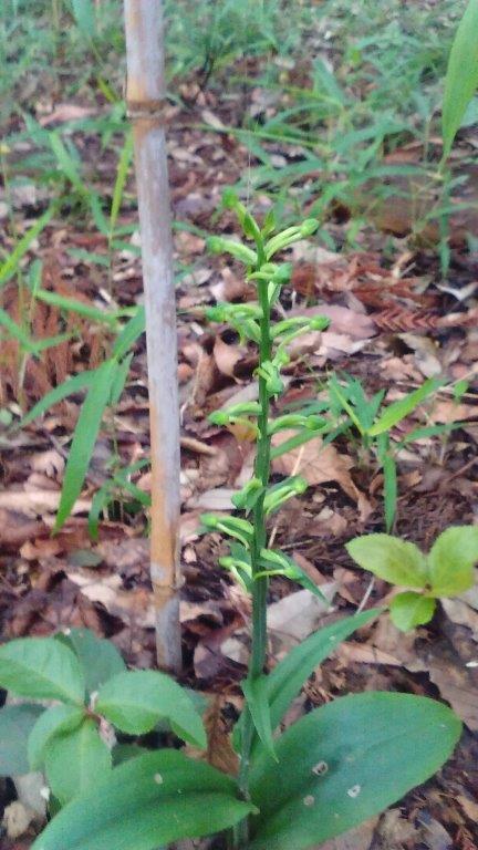 オオバノトンボソウの花芽がかなり膨らんできました