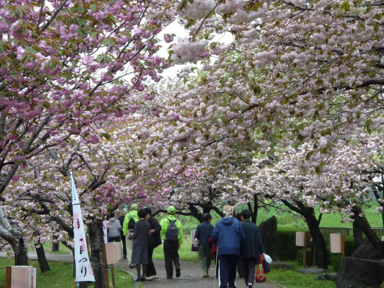 桜の於大のみち